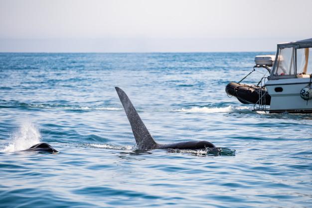 cola-ballena-jorobada-delante-velero-cerca-tofino-isla-vancouver-columbia-britanica_159160-159